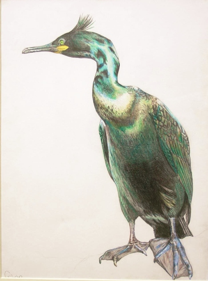 Shag (coloured pencil)