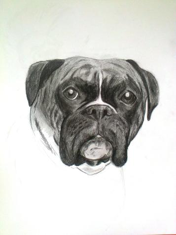 Boxer dog (pencil)