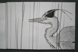 Grey Heron (pencil and black pen)