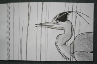 Grey Heron (pencil and black pen)