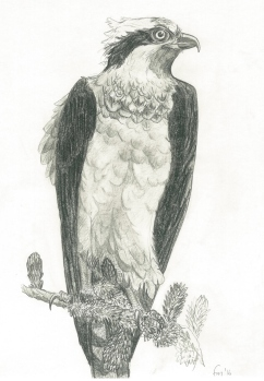 Osprey (pencil)