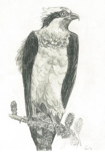 Osprey (pencil)